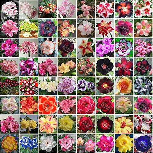 Bellfarm Bonsai mixte 64 Types de Adenium Desert Rose Seeds, 100pcs/paquet, noir jaune rouge rose bleu blanc etc belles combos
