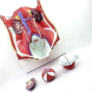 Hoogwaardige handgeschilderde menselijke orgaan genitoerinaire entrale muuronderwijs demonstratie anatomisch model voor ed...
