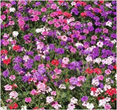Moss Verbena - Ground Cover - Mixed Colors for Zones 6-10 - 3300 Seeds