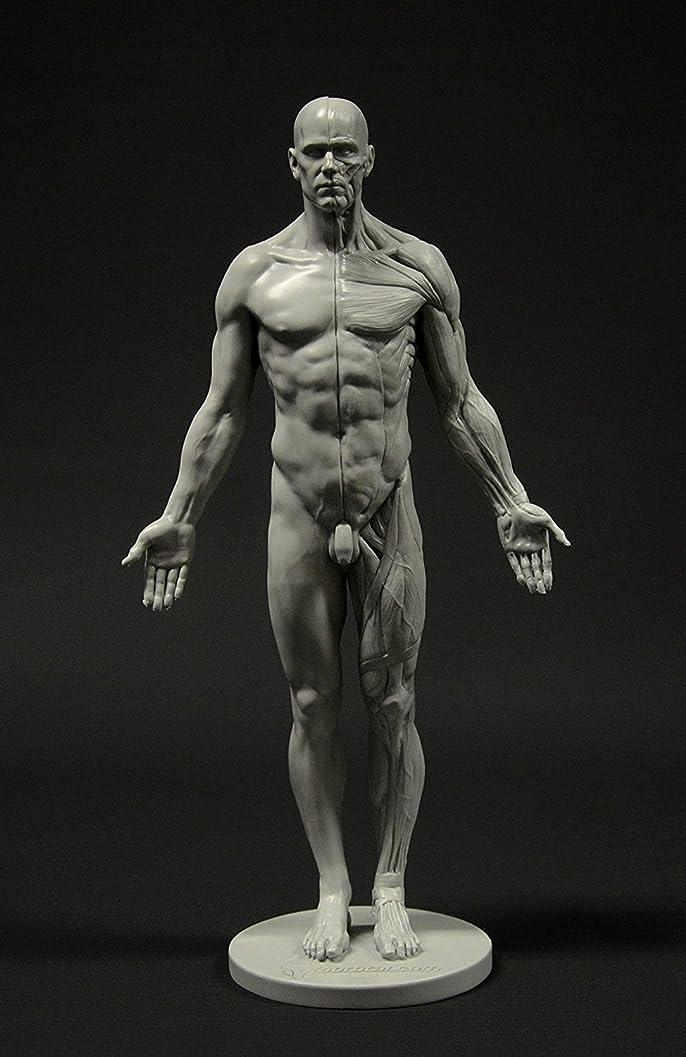 シマウマ力数学的なMale Anatomy Figure: 11-inch Anatomical Reference for Artists (Grey) 男性解剖図