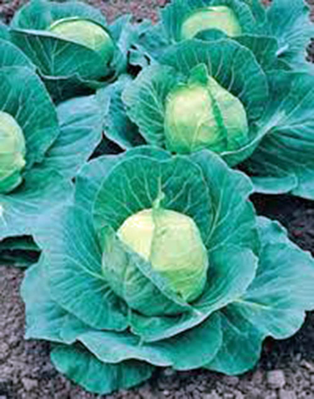 Cabbage Seed, Golden Acre, Heirloom, Non GMO, 25 Seeds, Tasty Healthy Veggie