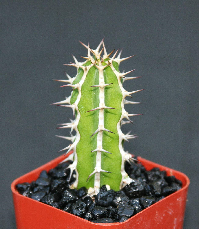 Euphorbia Clearance SALE Limited Seasonal Wrap Introduction time Graniticola Exotic Rare Cactus Cacti Succ Plant Bonsai