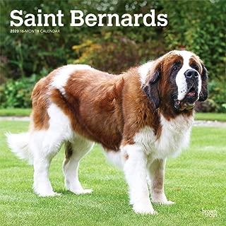 Saint Bernards 2020 12 x 12 Inch Monthly Square Wall Calendar, Animals Dog Breeds