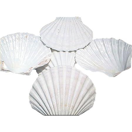 "Set of 12 Large White Baking Scallop (3.5""-4"") Restaurant Quality Real Seashells Beach Wedding Coastal Crafts and Decor - Florida Shells and Gifts Inc."