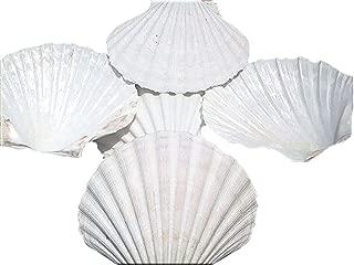 "Set of 24 X-Large White Baking Scallop (4-5"") Restaurant Quality Real Seashells Beach Wedding Coastal Crafts and Decor - Florida Shells and Gifts Inc."