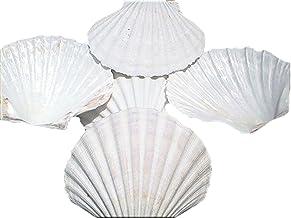"1-2/"" // 25-50mm 50 Pink Rose Cup Tellin Tellon Shells Seashells Arts /& Crafts."
