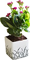 Rolling Nature Air Purifying Kalanchoe in Cube Aroez Ceramic Pot, White