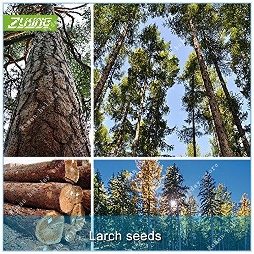 ZLKING 50 Larch Seed Kiefer Samen Bonsaipflanzen Für Hausgarten Bonsai-Baum Pflanze im Topf wächst schnell Baumsamen