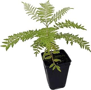 Best baby jacaranda tree Reviews