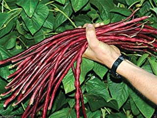 Yard-long Bean, Chinese Red Noodle Pole Bean/100 Seeds/heirloom , Non Gmo !