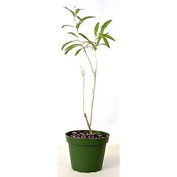 Amazon Com 9greenbox Goji Berry 4 Pot Flowering Plants