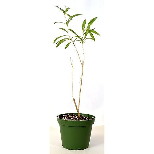 Goji Berry Plant Amazon Com