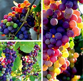 Best sugar vine plant Reviews