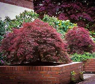 Red Dragon Laceleaf Weeping Japanese Maple Trade Gallon Pot Tkgarden