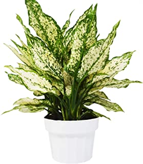 """18"""" Tall - Chinese 'First Diamond' - Aglaonema - Gardening - Houseplant - Home and Garden - Live Plant - N4"""