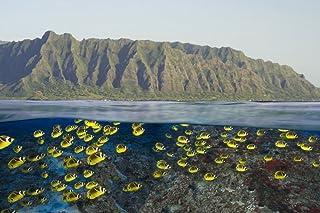 Digital split image of schooling raccoon butterflyfish off Oahu Hawaii Poster Print by VWPicsStocktrek Images (17 x 11)