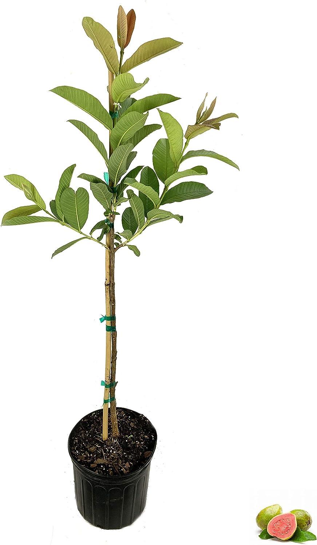 Ruby Supreme Guava Tree - Live Psidium a Pot Gallon Max 43% OFF 3 NEW before selling in