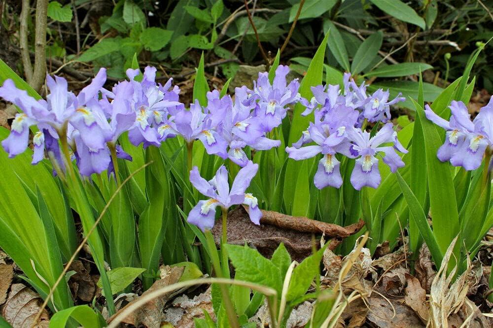 PLAT FIRM 5 Daily bargain sale Dwarf Sale item Crested Native cristata Woodland Wil iris