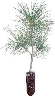 Himalayan Pine | Medium Tree Seedling | The Jonsteen Company