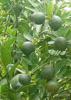 calamansi/calamondin Seeds 30 pcs (citrfortunella microcarpa)