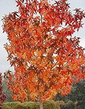 Gregpol - American Sweetgum, Liquidambar styraciflua 30 ct (Fall Color, Hardy, Fast)