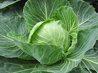 cabbage seeds for sale