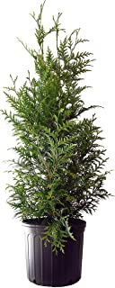 Thuja X 'Green Giant' (Western Arborvitae) Evergreen, #3 - Size Container