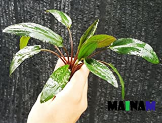 Mainam Cryptocoryne Wendtii Stem Bundle Freshwater Live Aquarium Plants Decoration