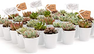 2 in. Wedding Event Rosette Succulents with White Metal Pails and Thank You Tags (30)