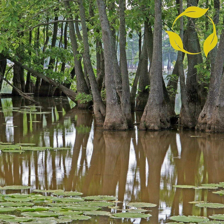 NP - Swamp Tupelo Nyssa Aquatica Flower Decora Seeds Max 44% OFF OMS Attention brand 3