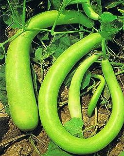 AGROBITS Vegetable Seeds 10 P Estate Squash Zucchini semi sani giardino domestico Oo55