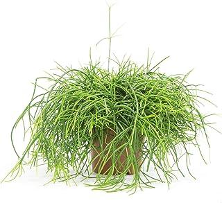 Rhipsalis cereuscula Cashero, Zimmerpflanze im 11 cm Topf, Korallenkaktus, ca. 10 cm hoch