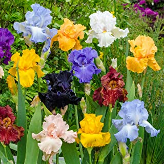 Breck's Bulbs and Perennials Reblooming Tall Bearded Bare Root Iris Mixture - Specially Selected Mixture of Colourful German Irises Will Bloom not Once, but Twice! Includes 5 Rhizomes per Order.