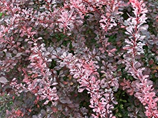 Rose Glow Barberry - 4
