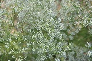 David's Garden Seeds Herb Anise SL9933 (White) 500 Non-GMO, Open Pollinated Seeds