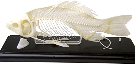 C & A Scientific - Premiere 51001 Real Fish Skeleton