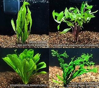 Mainam 4 Species Freshwater Live Aquarium Plant Package Set Java Fern - Rosette Amazon Sword - Hygrophila Corymbosa - Java Fern Windelov
