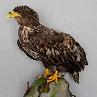 White-Tailed Eagle Taxidermy Bird Mount - Mounted, Stuffed Birds for Sale - Real, Decor, LIFESIZE - ST5538