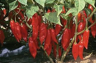 Hot Paper Lantern Pepper 25 Seeds