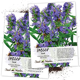 Seed Needs, Blue Hyssop Herb (Hyssopus officinalis) Twin Pack of 500 Seeds Each Non-GMO