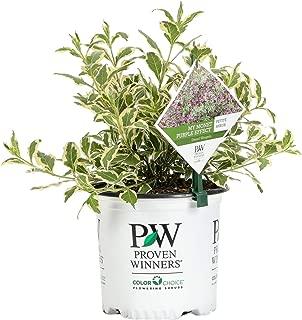 Proven Winners WEIPRC1116101 My My Monet Purple Effect Live Shrub, 1 Gallon, Flowers