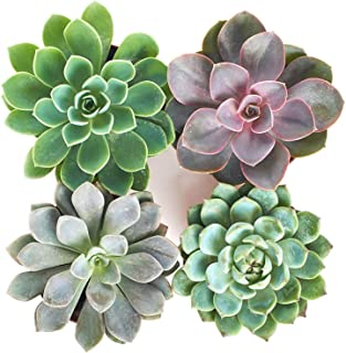 Shop Succulents | Radiant Rosette Live Plants, Hand Selected Variety Pack of Succulents | | Collection of 4 in 4