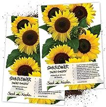 Seed Needs, Dwarf Sunspot Sunflower (Helianthus annuus) Twin Pack of 80 Seeds Each
