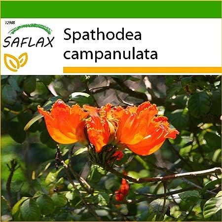 SAFLAX - Tulipán africano - 30 semillas - Con sustrato estéril para cultivo - Spathodea campanulata