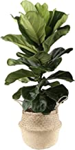Costa Farms Ficus Lyrata Fiddle Leaf Fig Indoor Tree, 3-Feet Tall, Live Plant, in Seagrass Basket