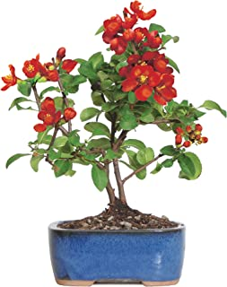 Brussel's Live Japanese Red Quince Outdoor Bonsai Tree - 3 Years Old; 10