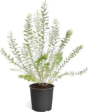 Brighter Blooms - Tri Color Willow Shrub - Evergreen Hedge Border Plant, 2 Gallon, No Shipping to AZ