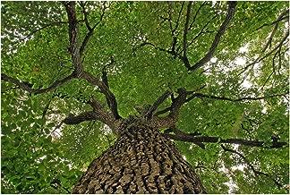Black Gum Tree – Black Tupelo, Sourgum – Nyssa sylvatica – Healthy Established Roots - Three Trade Gallon - 1 Plant by Growers Solution