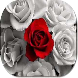 Rose Flower HD Wallpapers