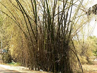 500 Seeds of Bambusa bambos Also Known as Giant Thorny Bamboo or Indian Thorny Bamboo Seeds.